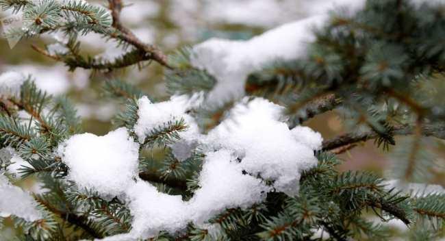 Снег на ветке ели. Архивное фото
