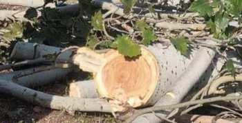 В Бишкеке на улице Ахунбаева варварски обрезают деревья